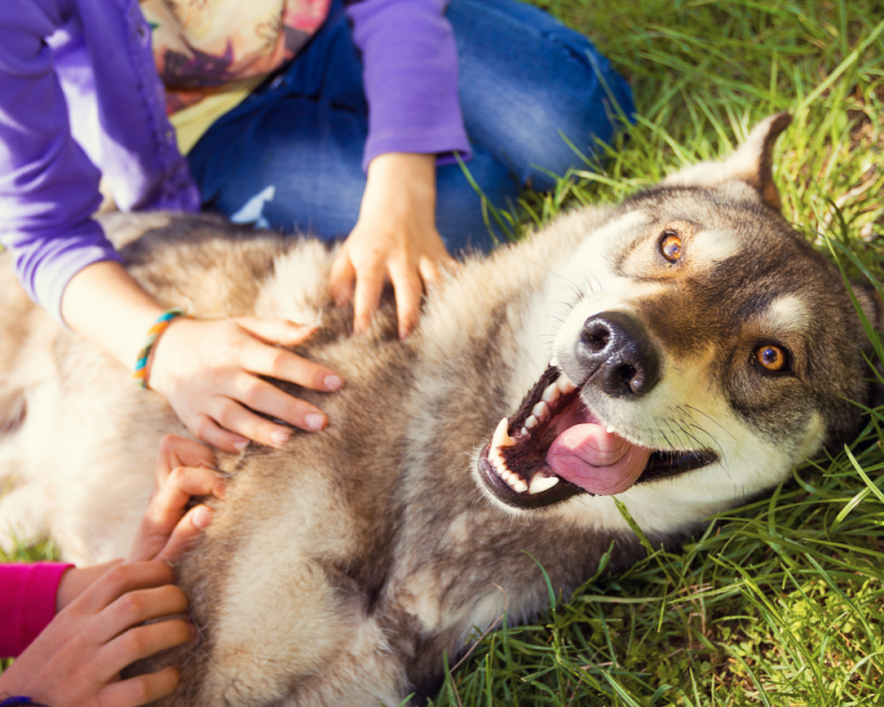 Siberian Husky dog Funny Portrait looking at camera lying on green grass and playing with two girls