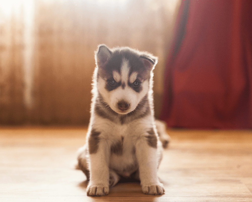 siberian husky puppy in the home on old red vintage carpet