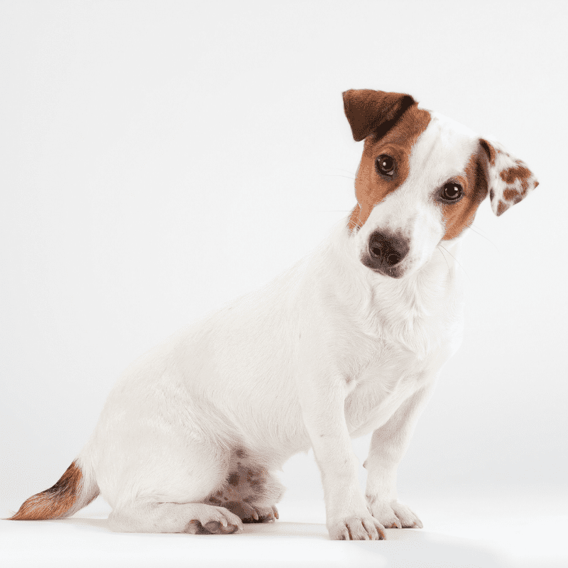 Smooth haired Jack Russell Terrier sitting on white background