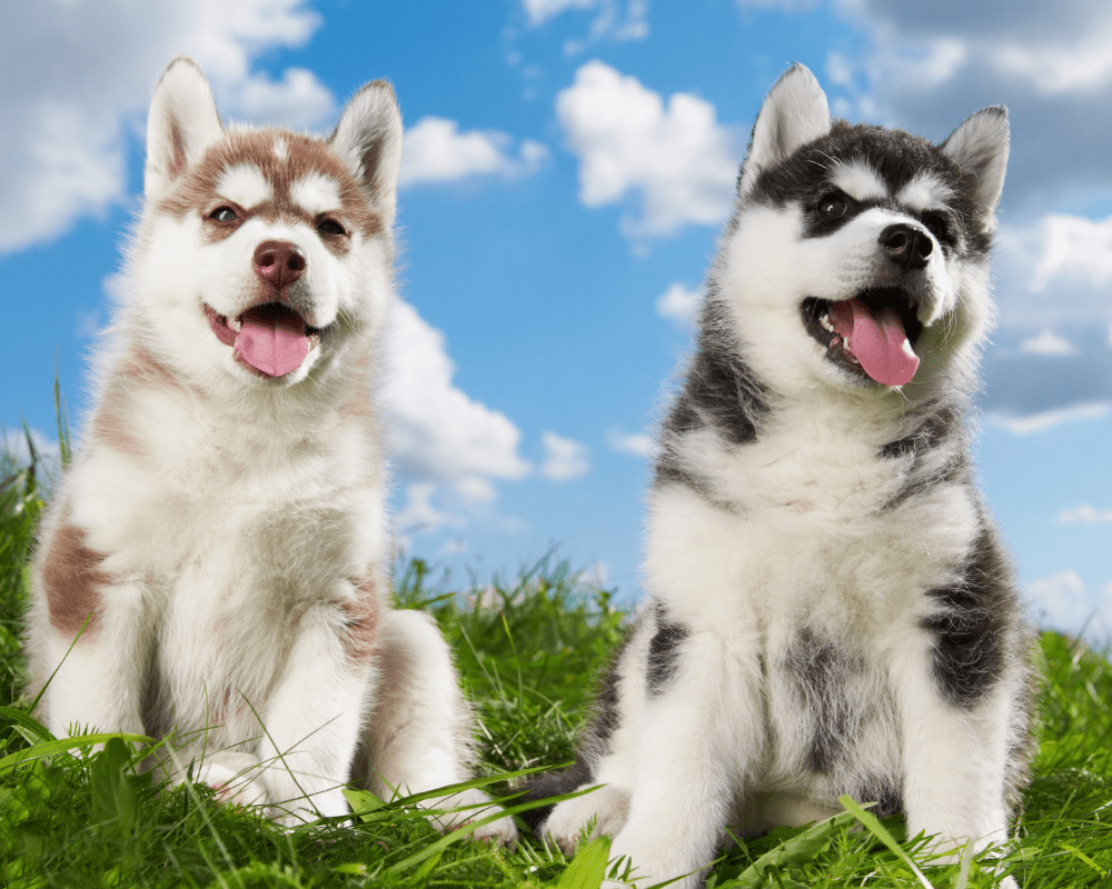 Two cute Siberian Husky puppies sitting on the grass