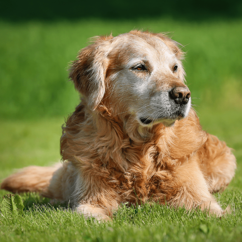 An old Golden retriever dog, laying on the grass