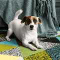 Jack Russell Terrier at home playing