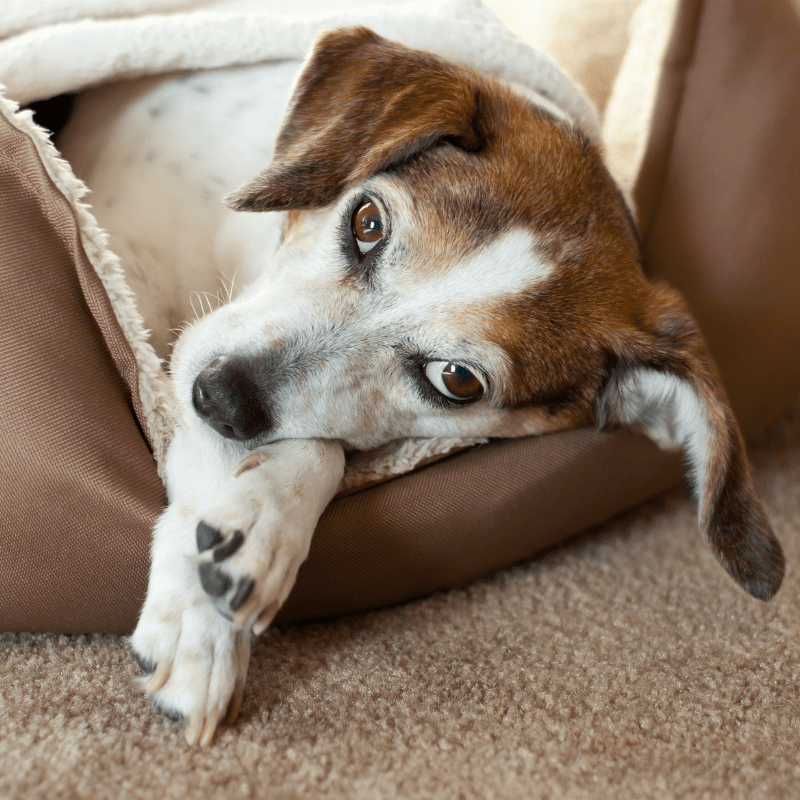 Older beagle dog lying in a dog bed