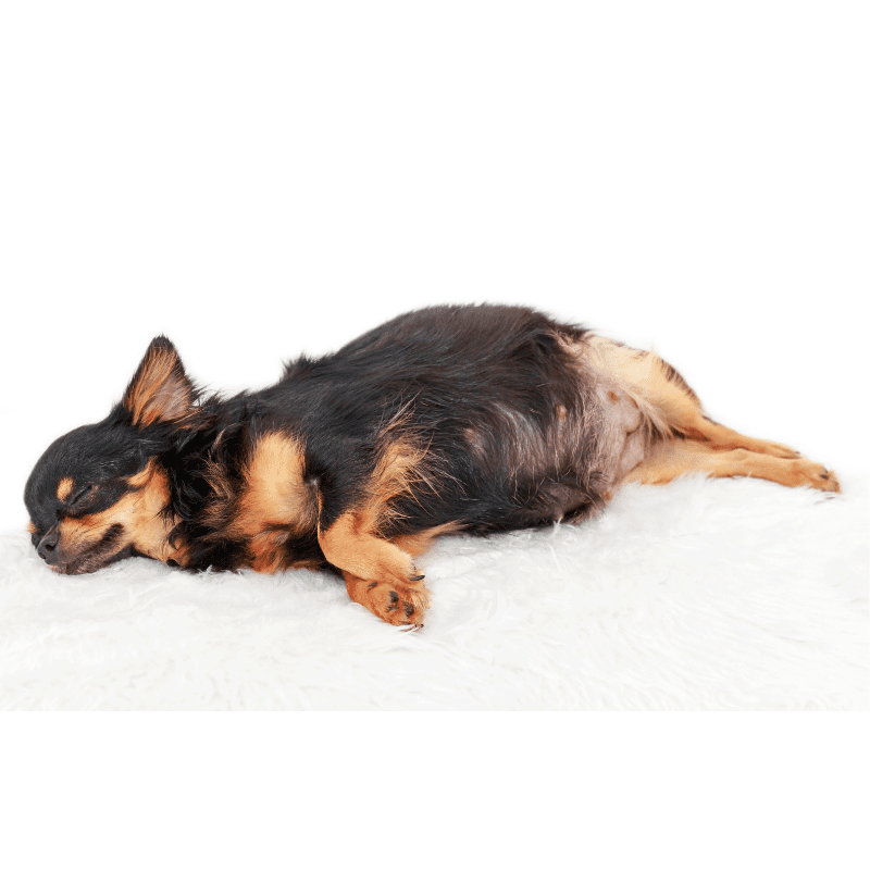 Pregnant chihuahua dog laying down