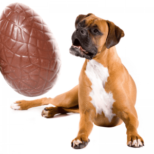 A chocolate Easter egg and a dog sitting looking at it