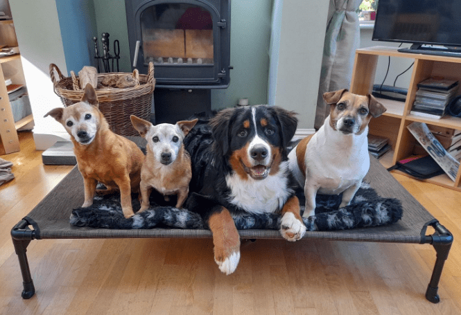 A raised dog bed with four dogs sitting on it looking at the camera