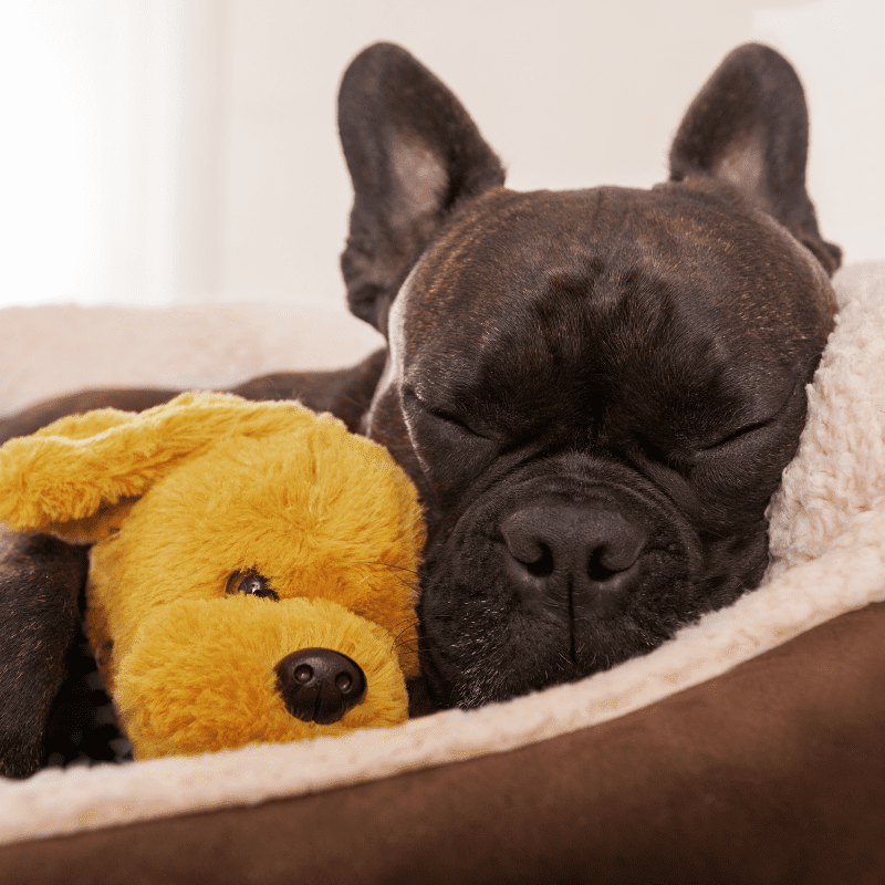 sleeping French bulldog with teddy