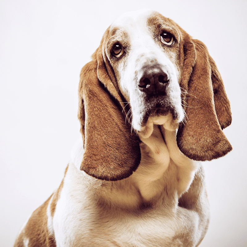 Basset Hound close up, long ears, and droopy eyes