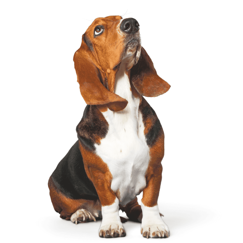 Basset Hound looking up on white background
