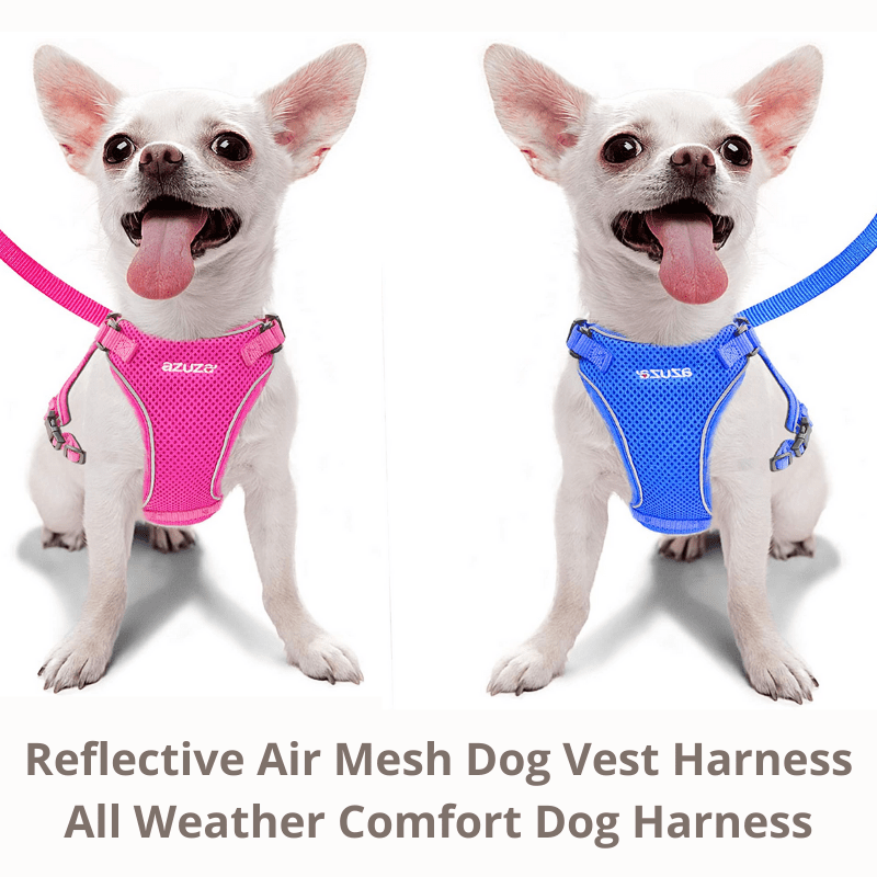 Two Chihuahua showing off blue and pin harness