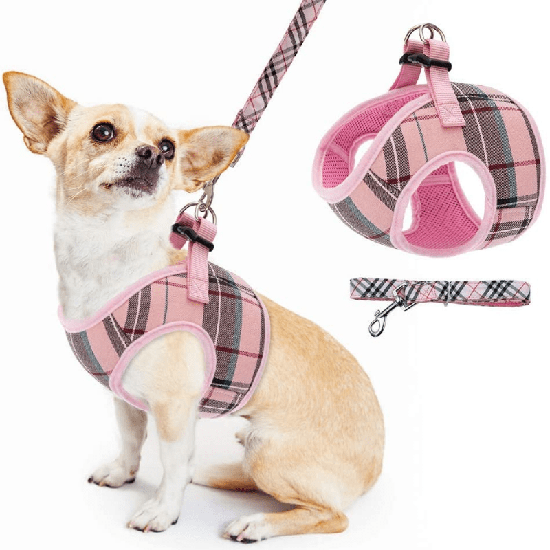 Chihuahua looking up in a pink harness