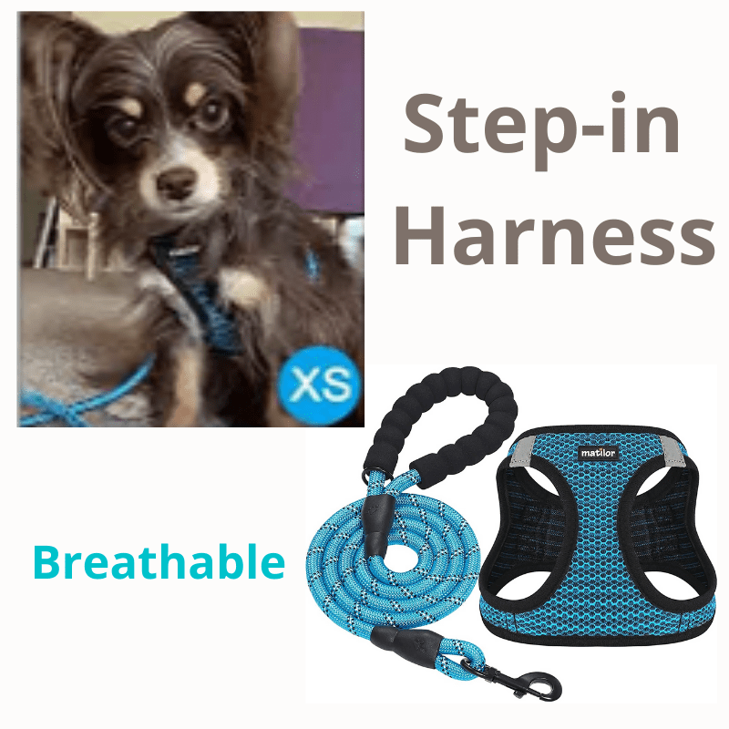 Brown Chihuahua sitting next to harness