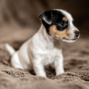 Jack Russell Puppy sitting on a blanket