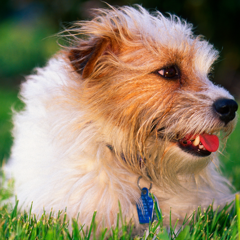 Rough Coat Jack Russell Terrier laying on the grass, close up