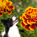 Marigold flower and a dog looking at them
