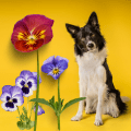 Pansies and a dog sitting looking at camera