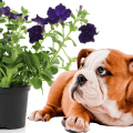 Petunias and a bulldog looking at the flower pot
