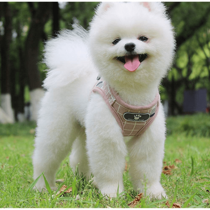 A cute Pomeranian standing on grass in a harness