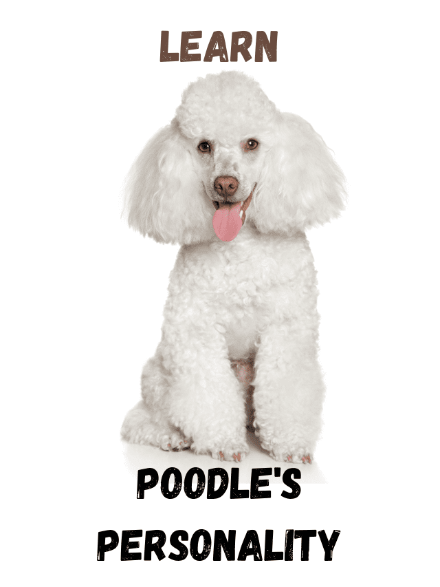 A cute white poodle with text - Poodle personality