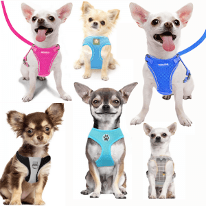 Six Chihuahua dogs in Harnesses