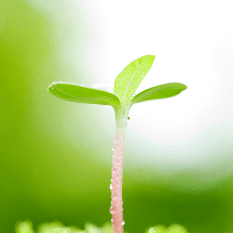 A close up of a sunflower seedling on a blurred background