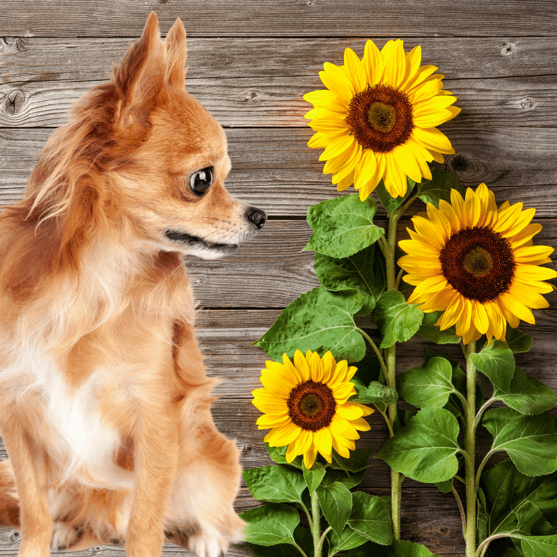 a chihuahua dog looking three sunflowers