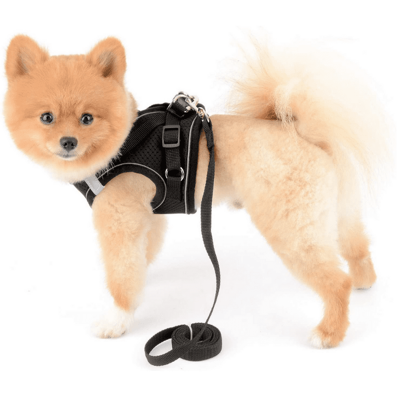 A Pomeranian wearing a harness