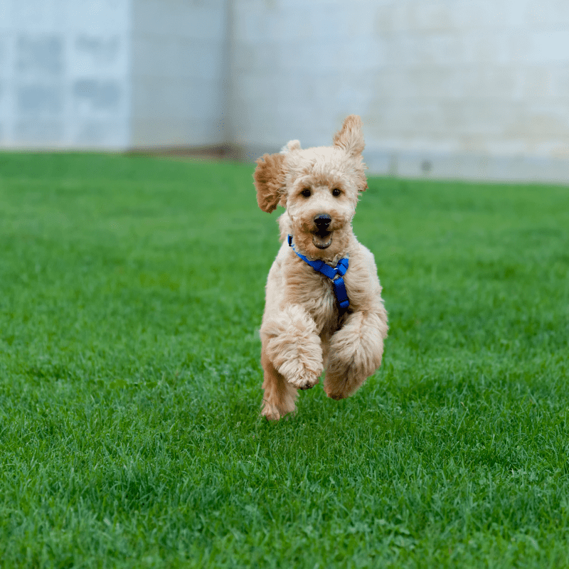 A cute happy poodle jumping on the grass getting some exercise