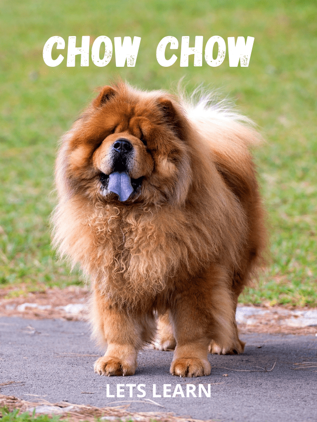 Full size image of a chow chow dog sticking tongue out - lion -like looks gorgeous