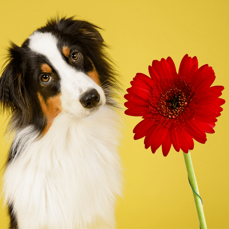 Gerbera Daisy and a dog on a yellow background