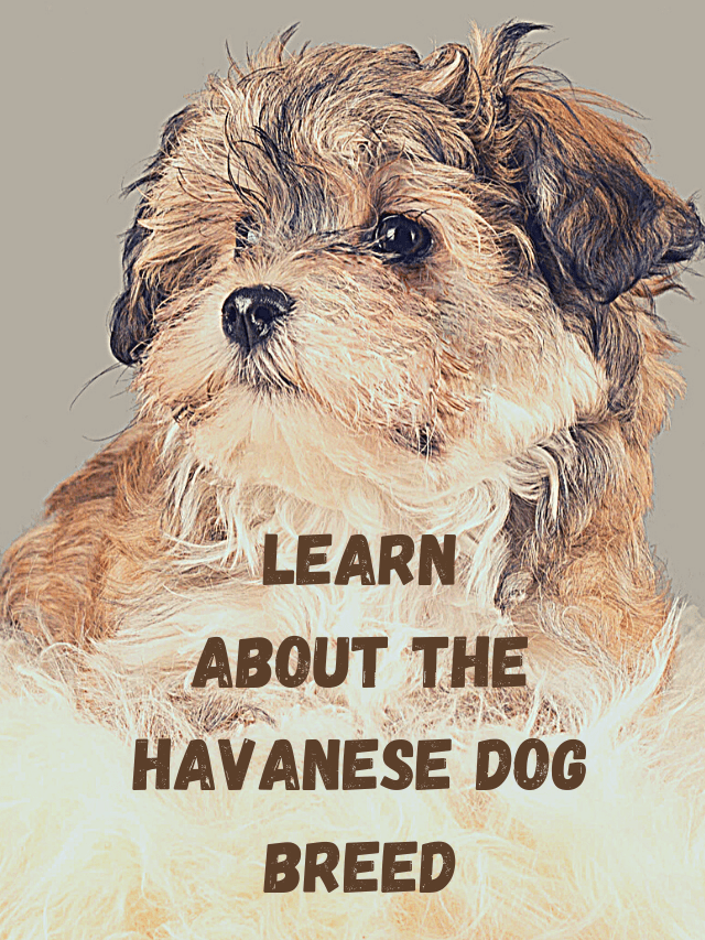 Havanese cute dog and text - LEARN ABOUT THE HAVANESE DOG BREED