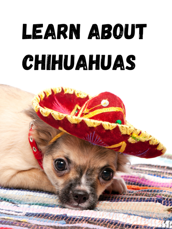 Chihuahuas with a Mexican hat on