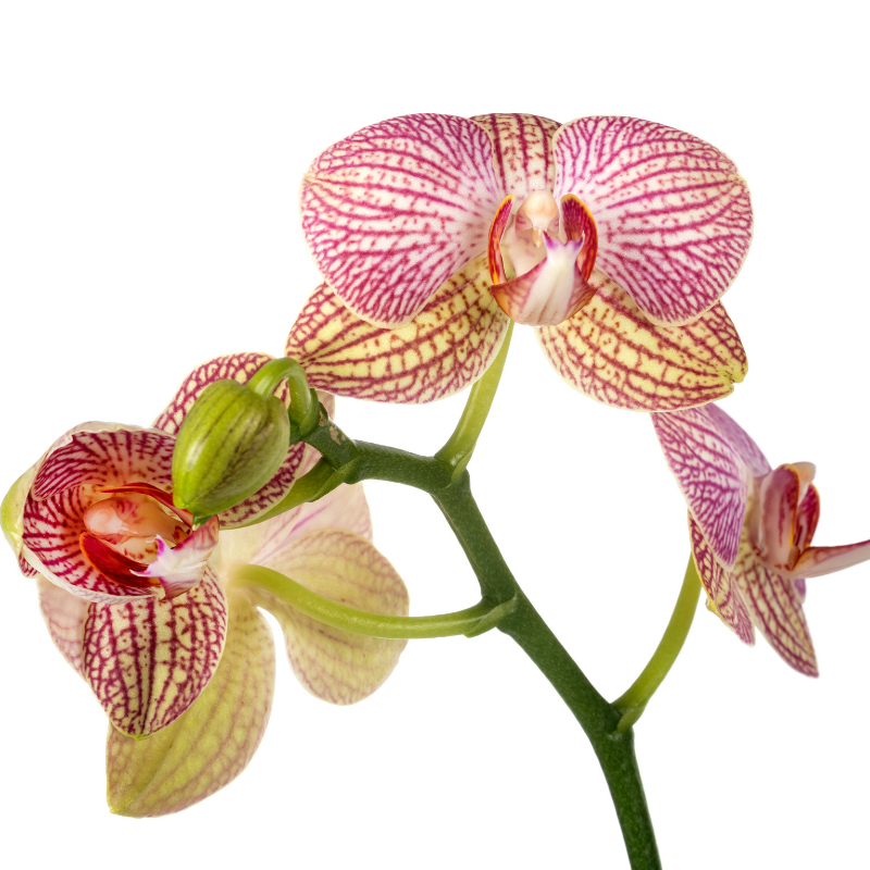 Moth orchid - Phalaenopsis on a white background, close up image