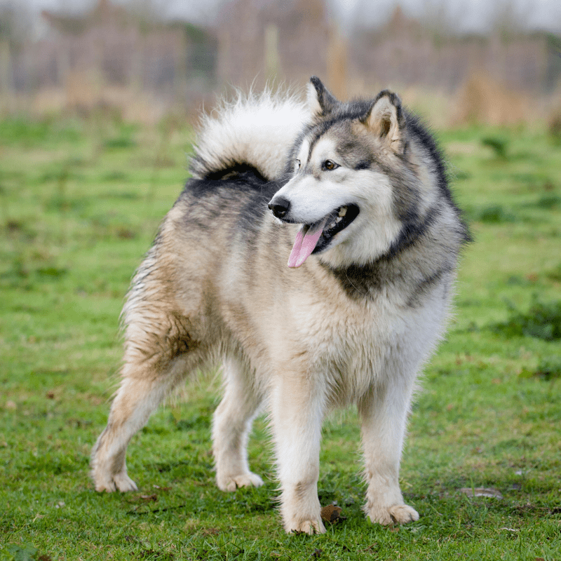 Siberian Husky standing on the grass, full body view