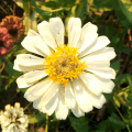 White Zinnia Flower head close up