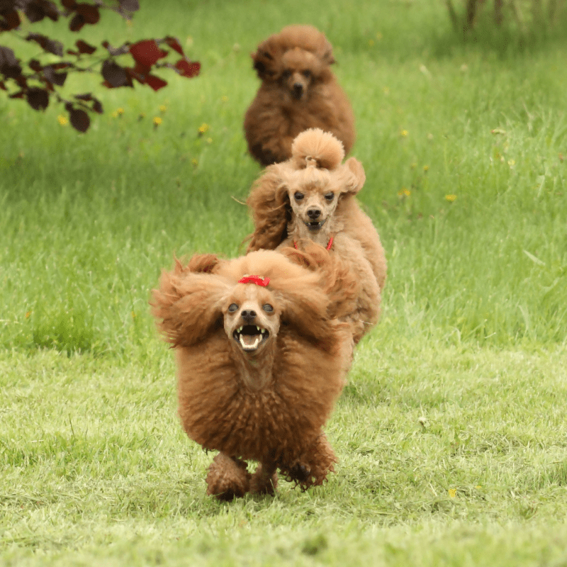 Three happy poodles running around on the grass