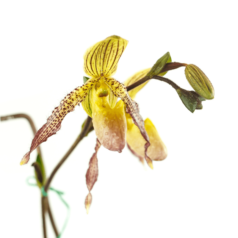 lady slipper orchid, yellow on a white background