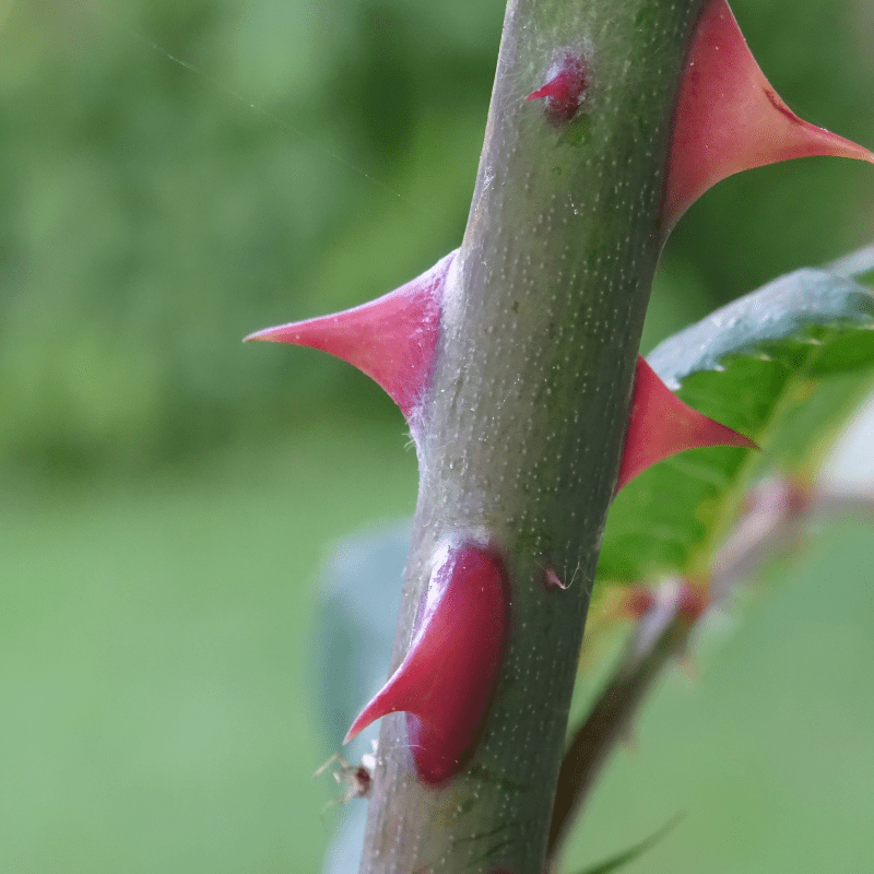Close up image of a roses stem showing the prickles