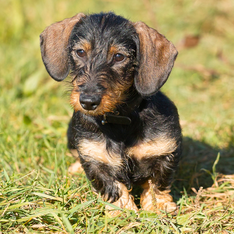 Wire haired Dachshund on the grass outside