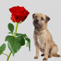 red rose and a dog
