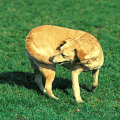 A tan colour dog chasing it tail on the grass