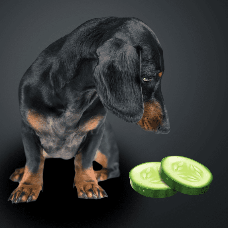 a dog looking down at two slices of cucumber