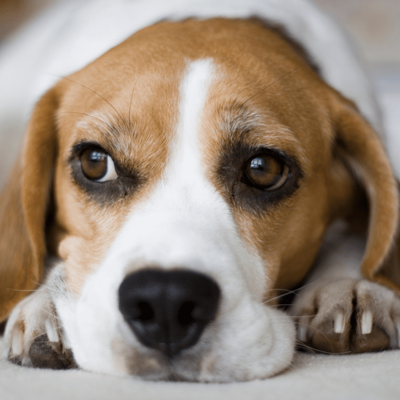 beagle dog breed, close up on head showing brown eyes