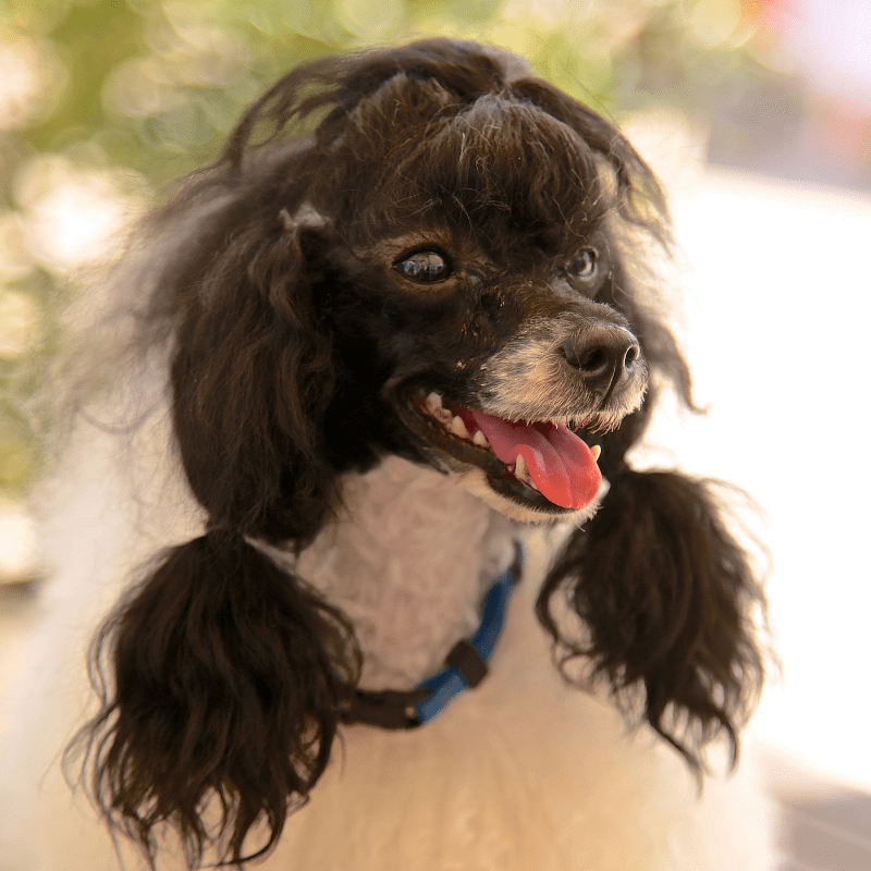 Black and white poodle with tongue out