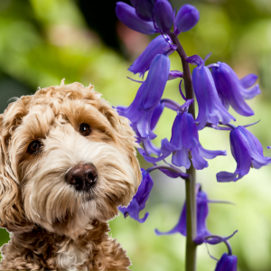 Bluebells and a dog close up