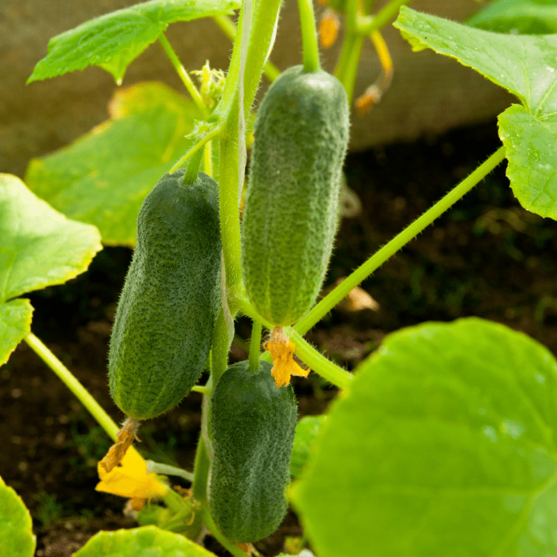A cucumber plant, with cucumbers on and the yellow flowers of a cucumber