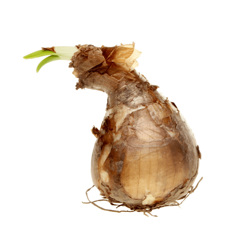 Daffodil bulb, brown with a shoot and roots on a whit background