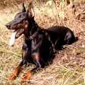 Dobermann laying on the grass with tongue out