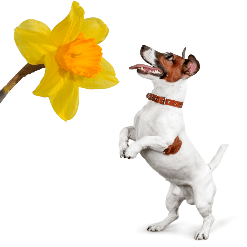 a dog looking up at a daffodil on a white background