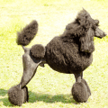 Grey standard poodle standing on the grass